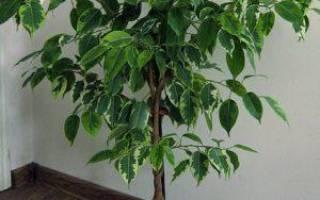 Как из фикуса сделать дерево