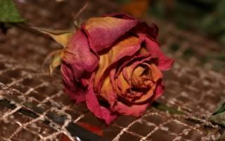 Как сделать гербарий из розы