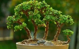 Как сделать бонсай из денежного дерева